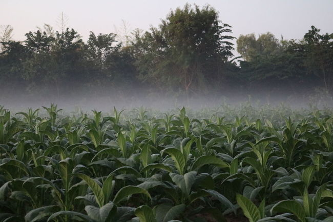 Tobacco farm Tobacco Tobacco Tree Beauty In Nature Day Field Fog Foggy Morning Grass Green Green Color Growing Growth Landscape Leaf Lush Foliage Nature No People Outdoors Plant Rural Scene Scenics Tranquil Scene Tranquility Tree