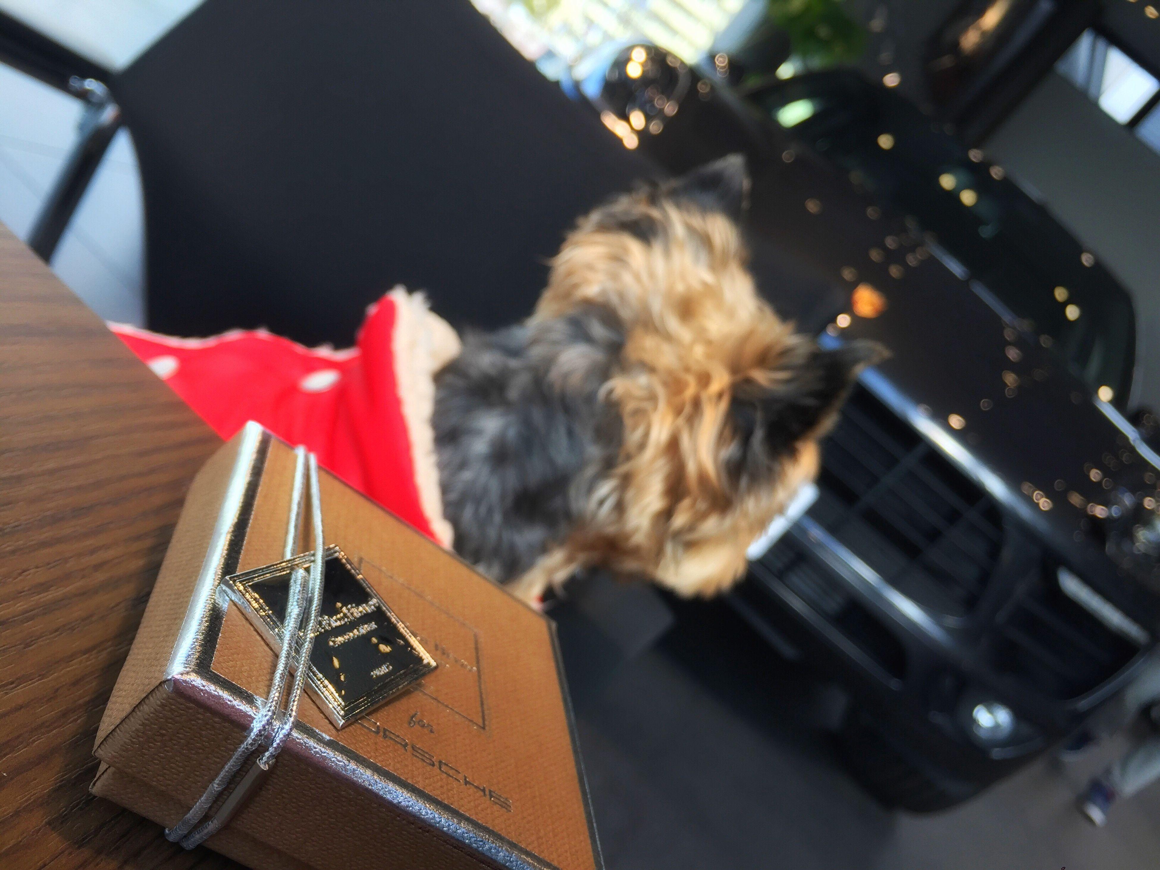 Chocolate Jeanpaulhevin Porsche Valentine's Day  Dog Mydog Ilovemydog Yorkshire Terrier Yorkie