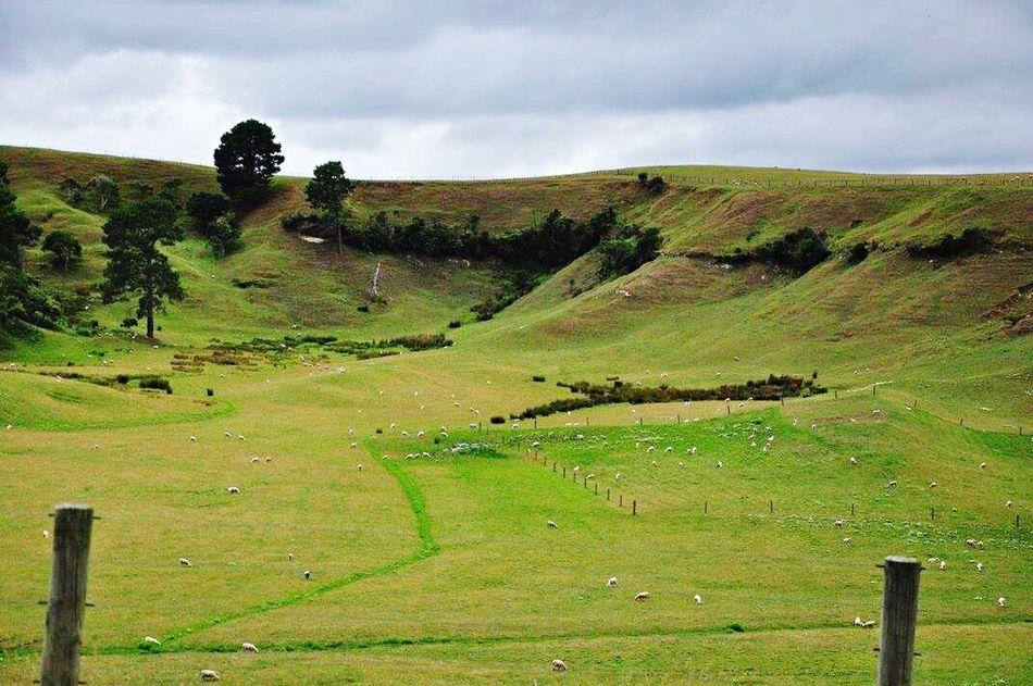 Sheeps Sheeps Sheepworld Hobbiton Matamata Newzealand Photography Hobbiton Movie Set Tours TheHobbit MiddleEarth Photooftheday