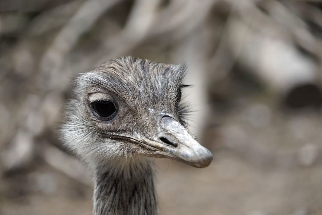 Ostrich Poultry Not Flying Animal Hello World Nature Day Close-up Nopeople
