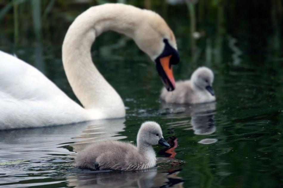 Beautiful stock photos of cute, Animal Family, Animal Themes, Animals In The Wild, Bird
