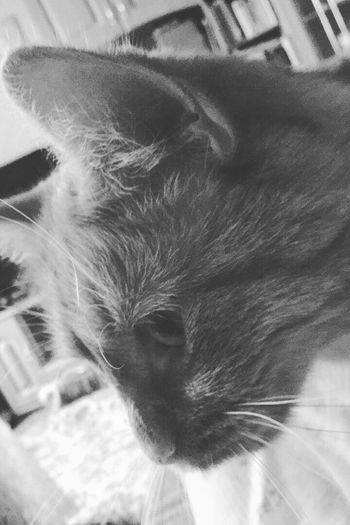 Domestic Cat Pets Domestic Animals Animal Themes One Animal Feline Mammal Cat Whisker No People Relaxation Close-up Indoors  Eyes Closed  Animal Head  Home Interior Day Siamese Cat Pictureoftheday Picture First Eyeem Photo Darkness And Light Blackandwhite Blackandwhite Photography