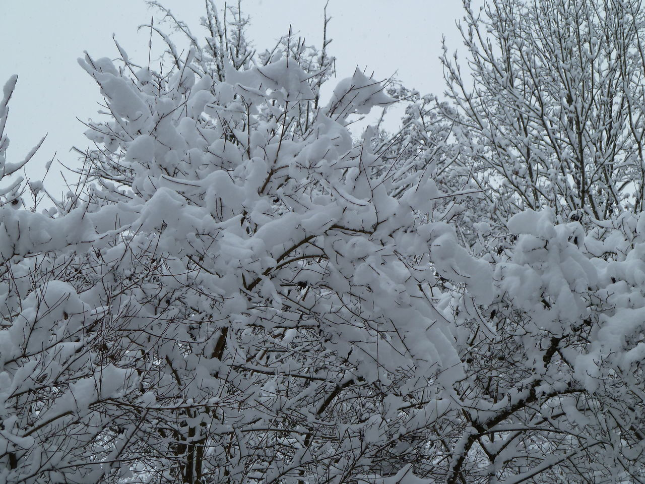 nature, winter, cold temperature, no people, beauty in nature, white color, outdoors, day, snow, tranquility, branch, plant, tree, bare tree, scenics, sky, freshness, close-up