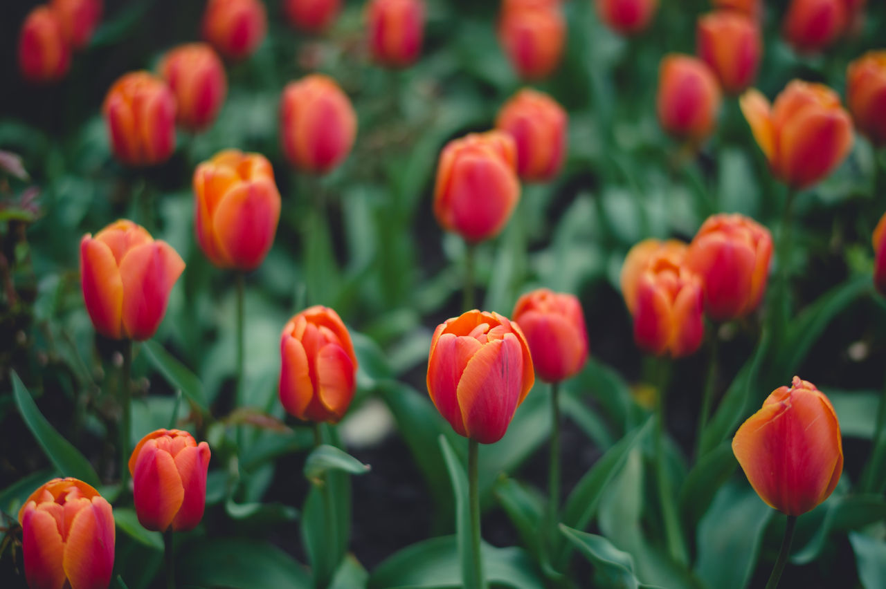 Orange tulips Beauty In Nature Blooming Close-up Day Field Flower Flower Head Fragility Freshness Growth Nature No People Outdoors Petal Plant Tulip