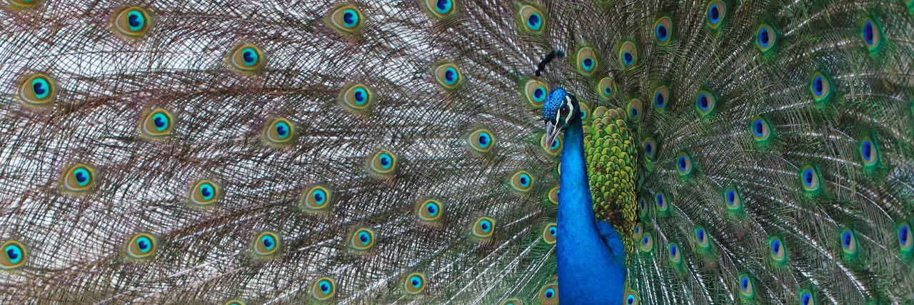 peacock Animal Themes Animal Wildlife Backgrounds Beauty Beauty In Nature Bird Close-up Fanned Out Feather  Fragility Full Frame Nature No People One Animal Peacock Peacock Feather Pfau Federn Colorful Farbenfroh