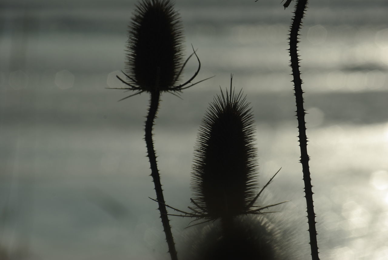 Beauty In Nature Close-up Day Dried Dried Plant Dry Flower  Flower Silhouettes Focus On Foreground Fragility Growth Nature No People Outdoors Plant Spiky Thistle Thistles Tranquility