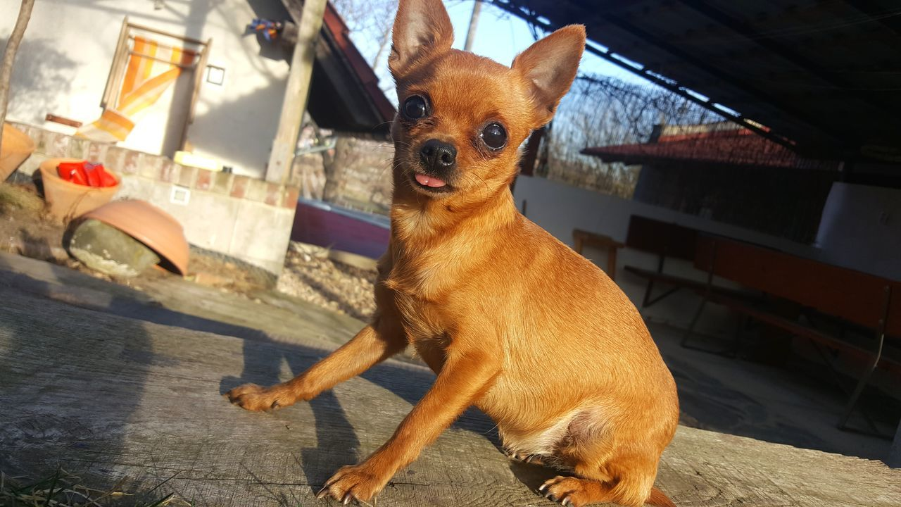 Dog Pets Animal One Animal Domestic Animals Portrait Mammal No People Animal Themes Day Tongue Chiuahua Prague Ratter Tongue Out Silly Outdoors Beige Mongrel Small Dog Furry Friend Furry Pet Little Dog Brown Sweet