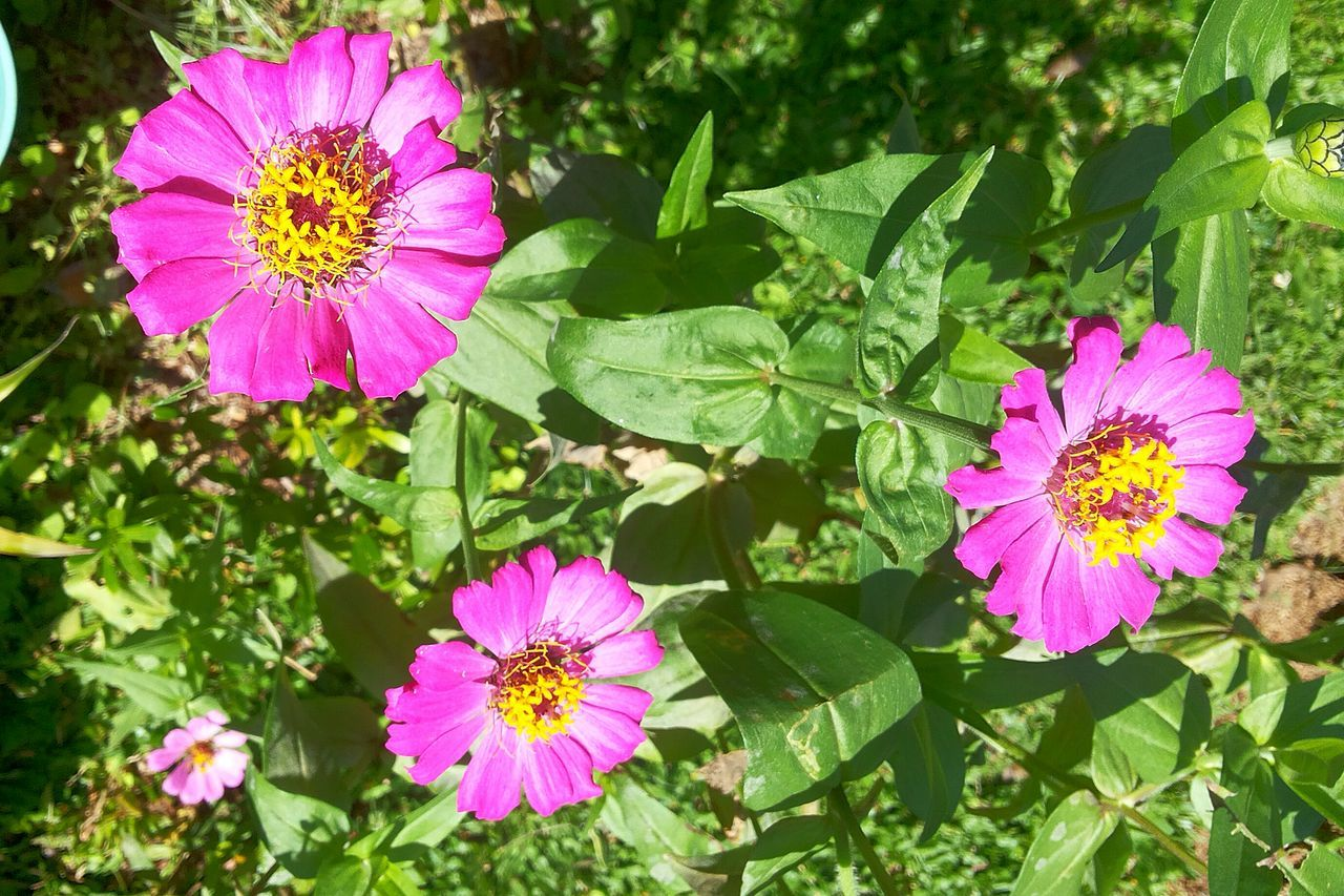 flower, petal, fragility, flower head, beauty in nature, growth, nature, pink color, freshness, plant, blooming, leaf, day, pollen, outdoors, no people, close-up, cosmos flower, zinnia, osteospermum