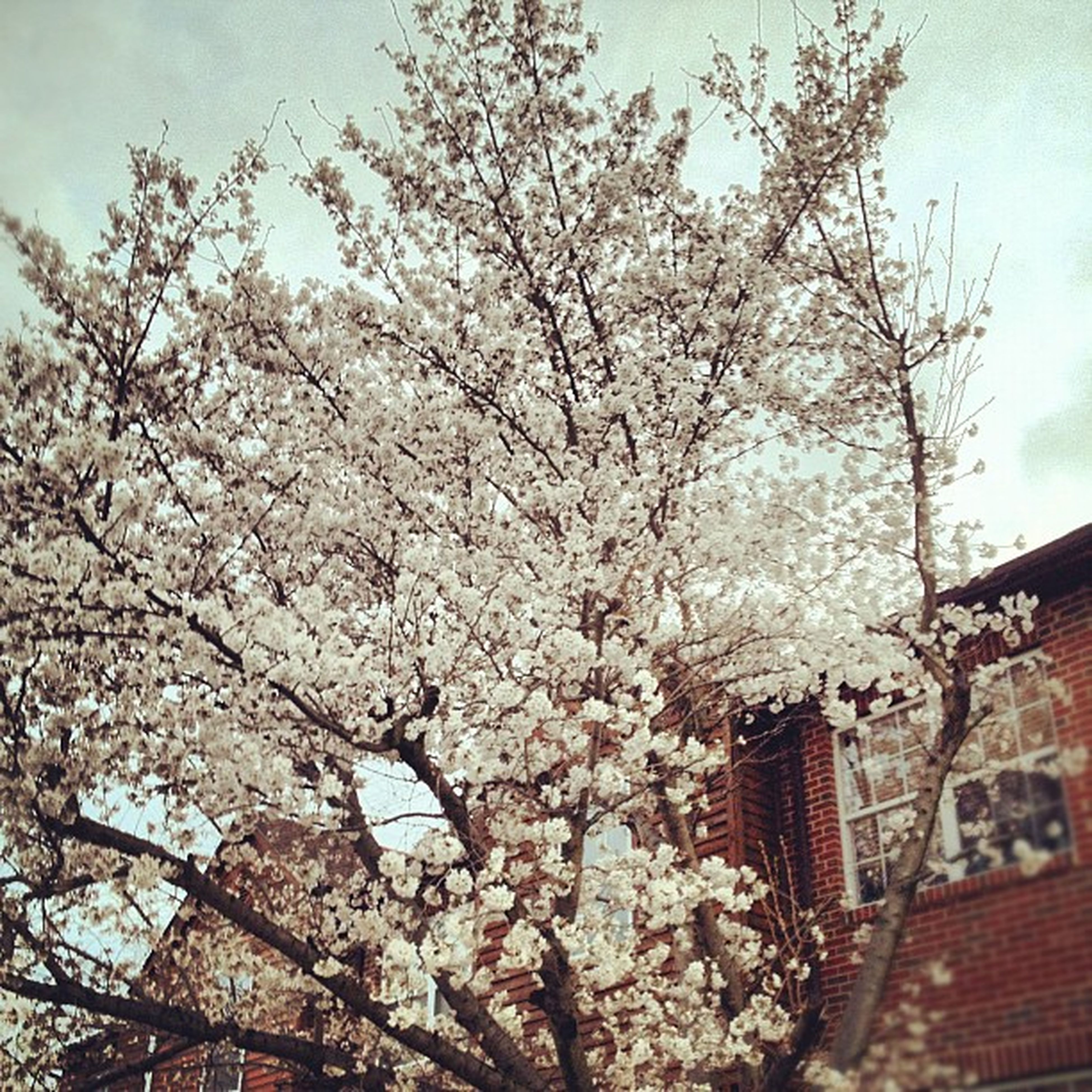 flower, low angle view, tree, branch, building exterior, built structure, architecture, growth, cherry blossom, blossom, freshness, cherry tree, fragility, white color, sky, nature, springtime, in bloom, blooming, beauty in nature