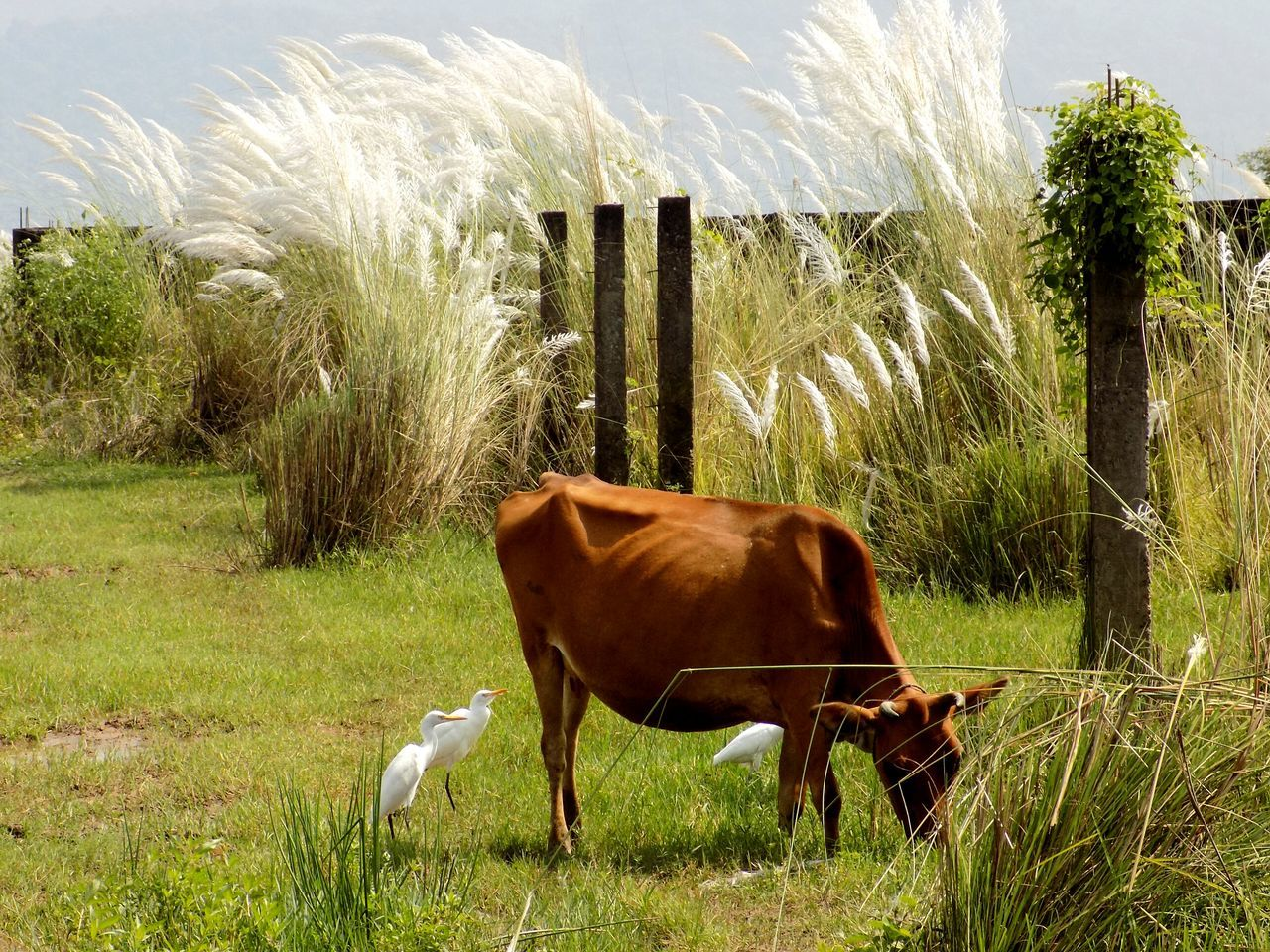 Rural Scenes Pastoral Atmosphere Cows Autumn Grassland Grassflowers Nature_collection Nature_ Collection  Grazing Cattle Cattle Egret