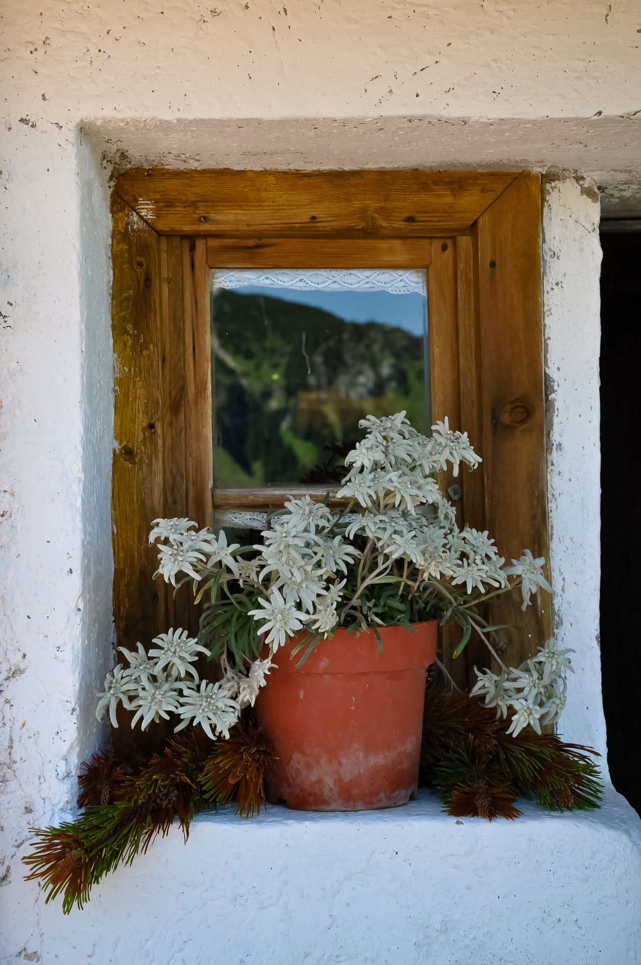 Architecture Built Structure Close-up Day Flower Flower Edelweiß Freshness House Nature No People Old House In The Mountains Outdoors Plant Reflection In The Window Window