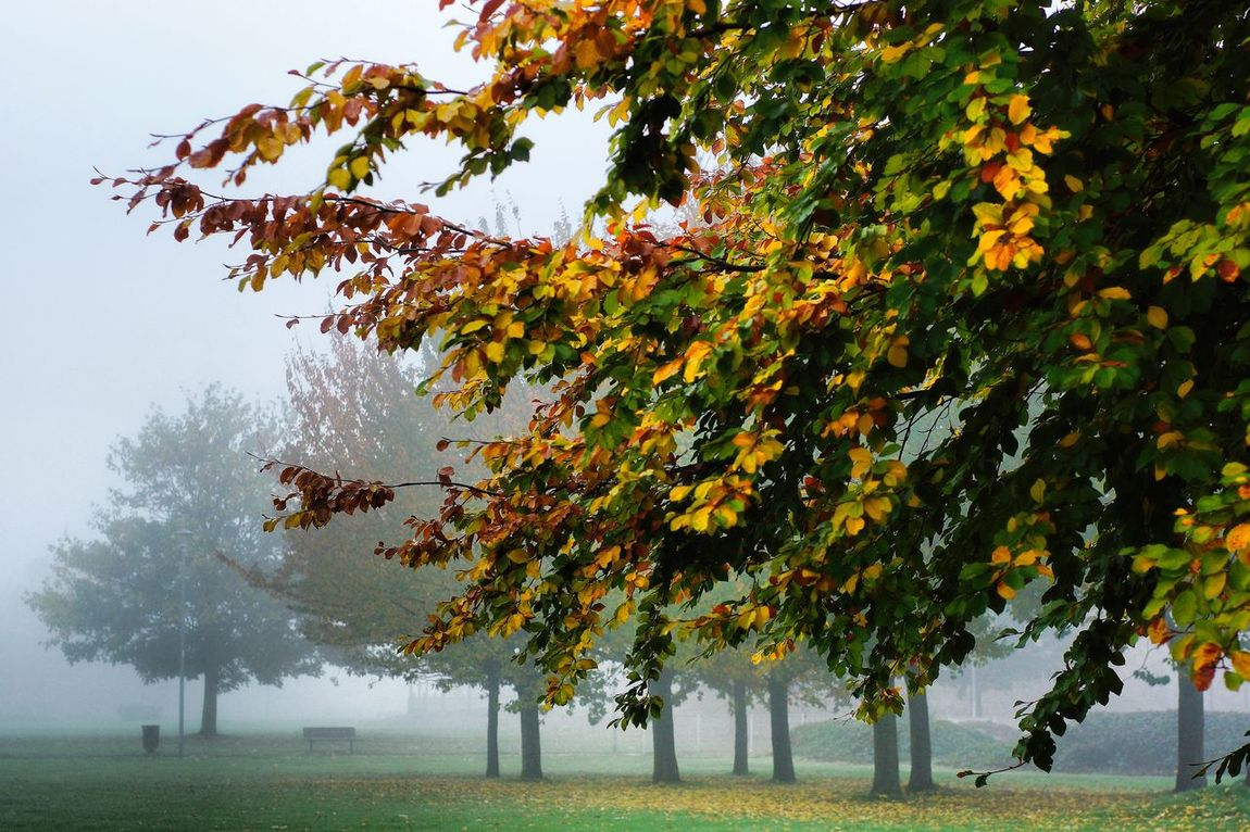 Autumn in full effect Autumn Leaves Colors Of Atumn Day Fog Fog In The Trees Foggy Morning Green Green Color Growing Growth Hulme Manchester Hulmepark Leaf Manchester Hulme Nature Outdoors Plant Season  Sony A77 Tree