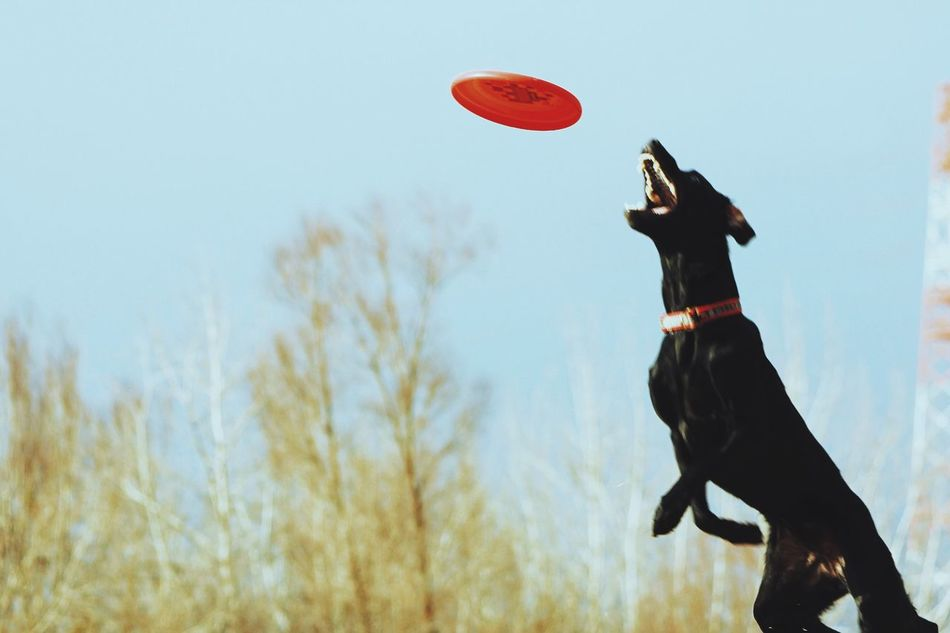 Beautiful stock photos of jump, Animal Behavior, Animal Themes, Black Color, Canine