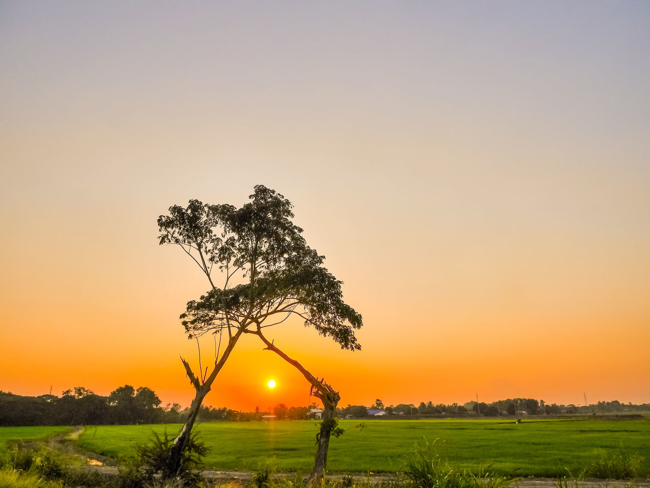 Beauty Beauty In Nature Field Gold Colored Landscape Nature No People Orange Sky Orenge Sky Peace Plain Rice Field Scenics Sky Sunset Tranquil Scene Tranquility Tree