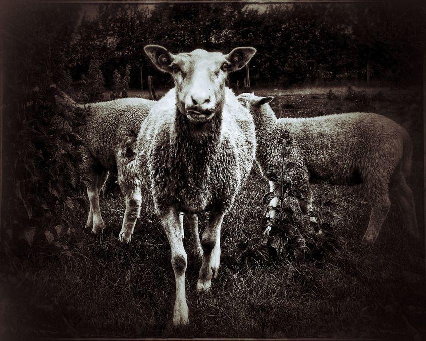 Mary had one.. Livestock Domestic Animals Mammal Animal Themes Looking At Camera Portrait Sheep Nature No People Outdoors Day Sheep🐑 Lamb Wool Wooly