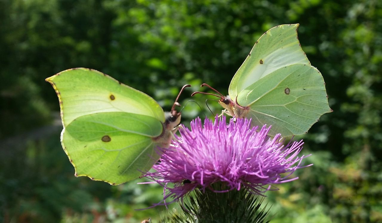 Brimstone Butterfly on Thistle Flower Two Is Better Than One Papillon [Repost for Eyeem Market ] Colour Of Life Mimicry Exceptional Photographs Striving For Excellence Butterfly Macro Mobilephotography No Edit/no Filter Nature On Your Doorstep Nature Nature_collection Nature_perfection Flower Collection EyeEm Best Shots EyeEm Nature Lover Thistles Butterfly Butterflies Butterfly ❤ Butterfly Collection Butterflyporn