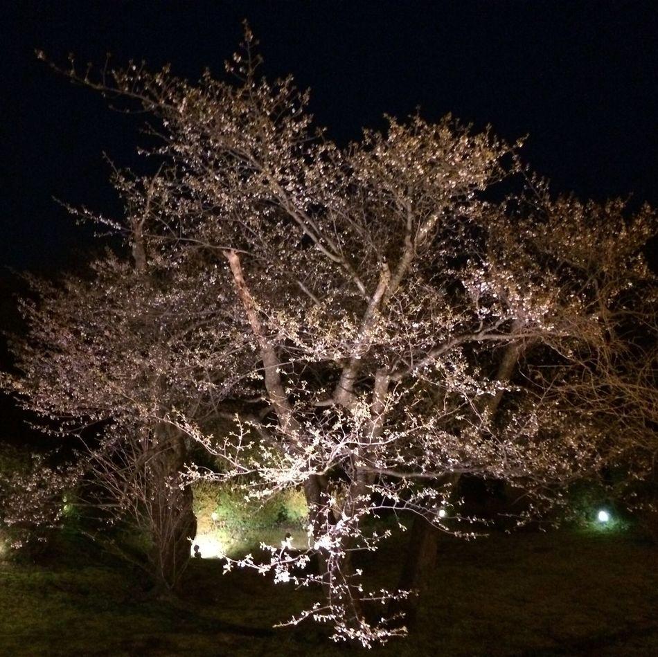 夜桜 ライトアップ✨ Cherry Blossoms 桜 夜桜