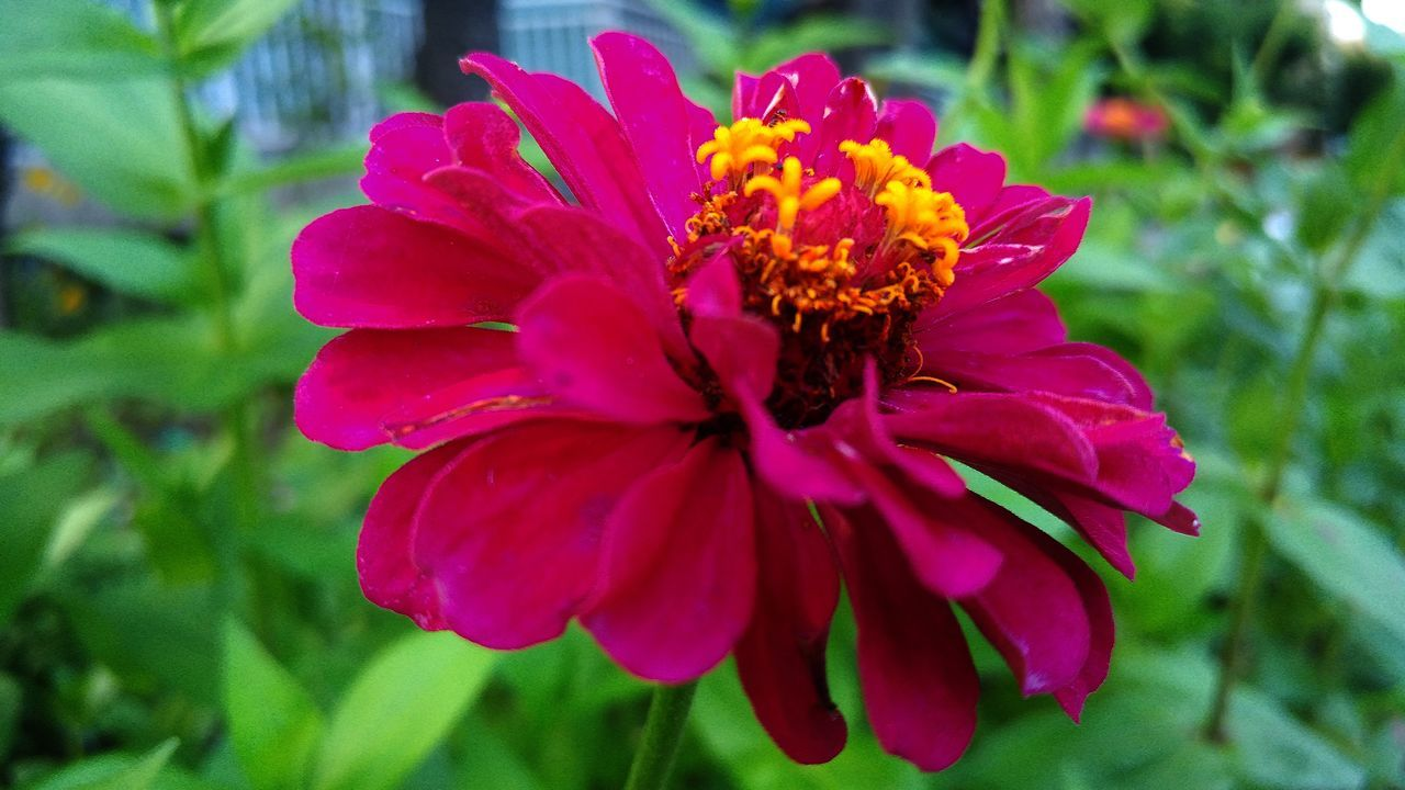 flower, petal, fragility, flower head, beauty in nature, nature, freshness, growth, plant, blooming, focus on foreground, pollen, one animal, close-up, insect, no people, day, outdoors, pink color, animal themes, animals in the wild, zinnia, pollination