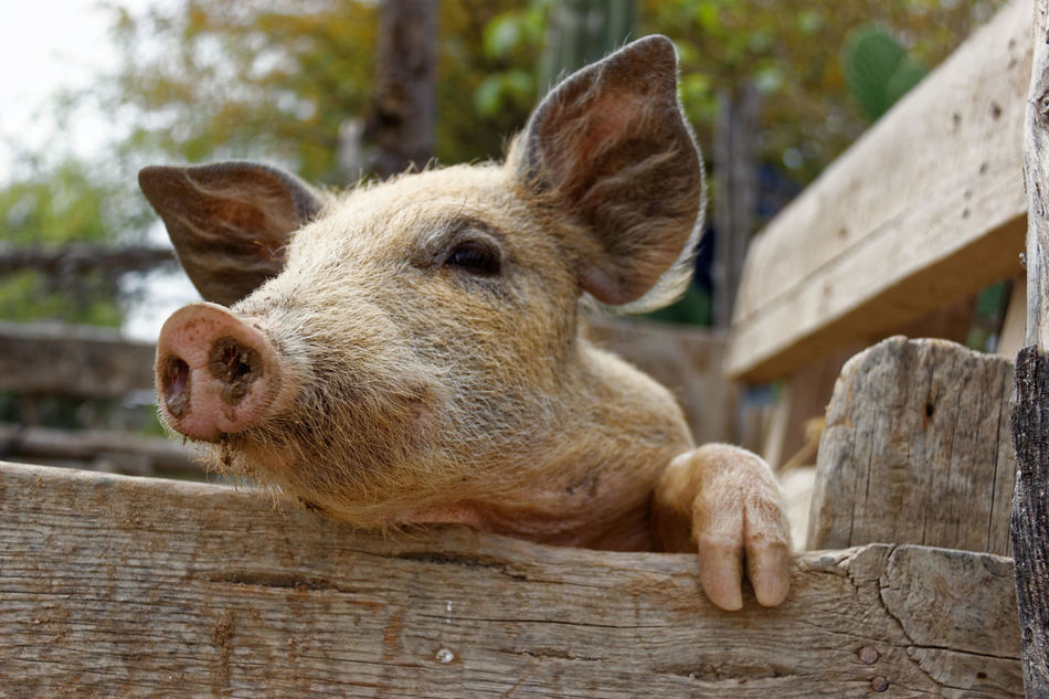 Marrano Animal Themes Animals Close-up Granja Marrano One Animal Pork Puerco Rancho