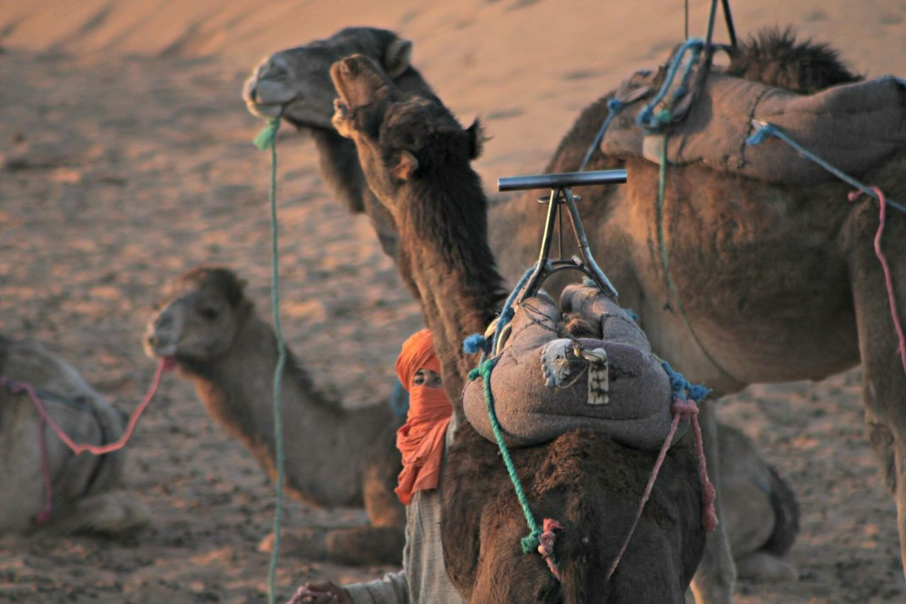 Animal Themes Focus On Foreground Mammal Domestic Animals No People Outdoors Day Nature Five Animals Monkey Camel Angry Deserts Around The World Zagora Desert MoroccoTrip Connected By Travel