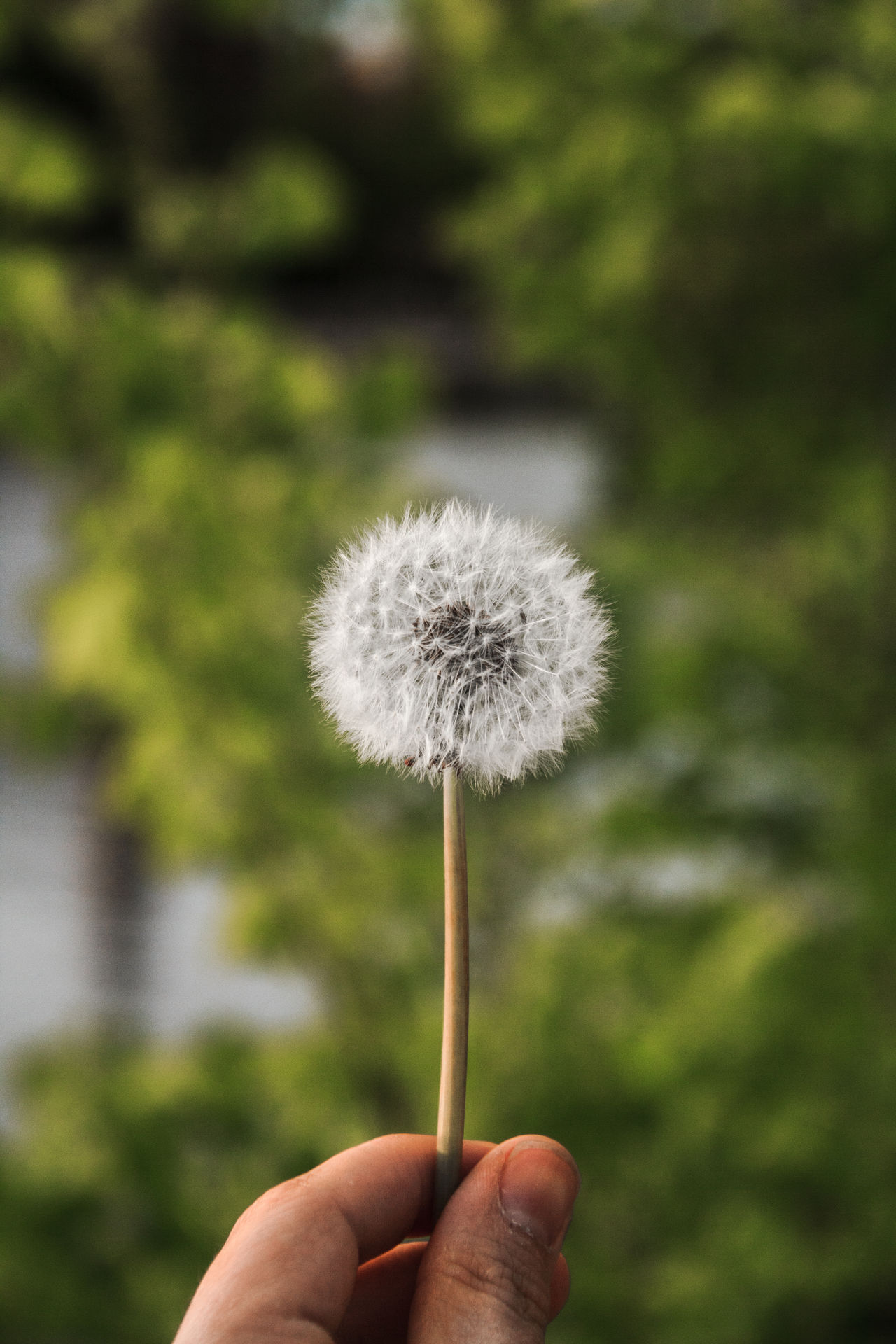 Beauty In Nature Close-up Dandelion Day Flower Flower Head Focus On Foreground Fragility Freshness Growth Holding Human Human Body Part Human Finger Human Hand Lifestyles Mindfulness Nature Outdoors Plant Real People
