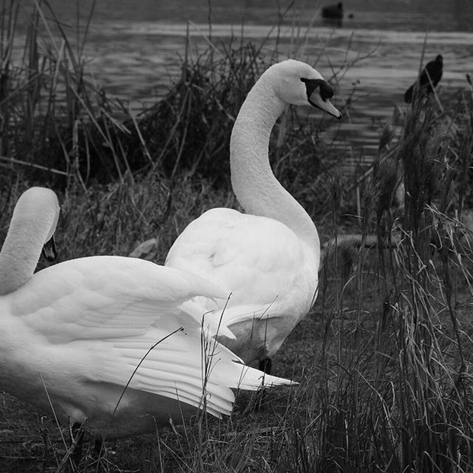 Black And White 2 Swans