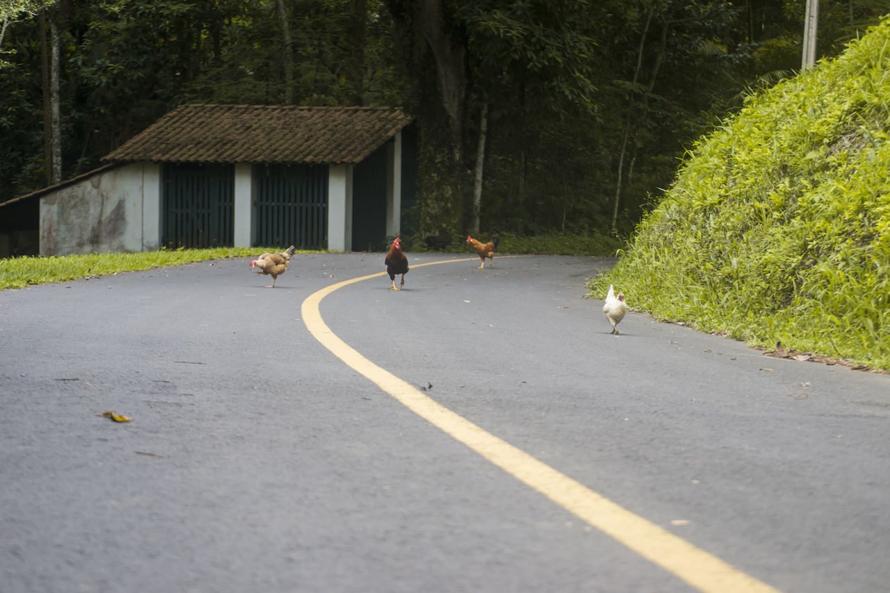 Chickens Chicken Chickens Day Galinha Galinhas Nature Outdoors Road The Way Forward Tree
