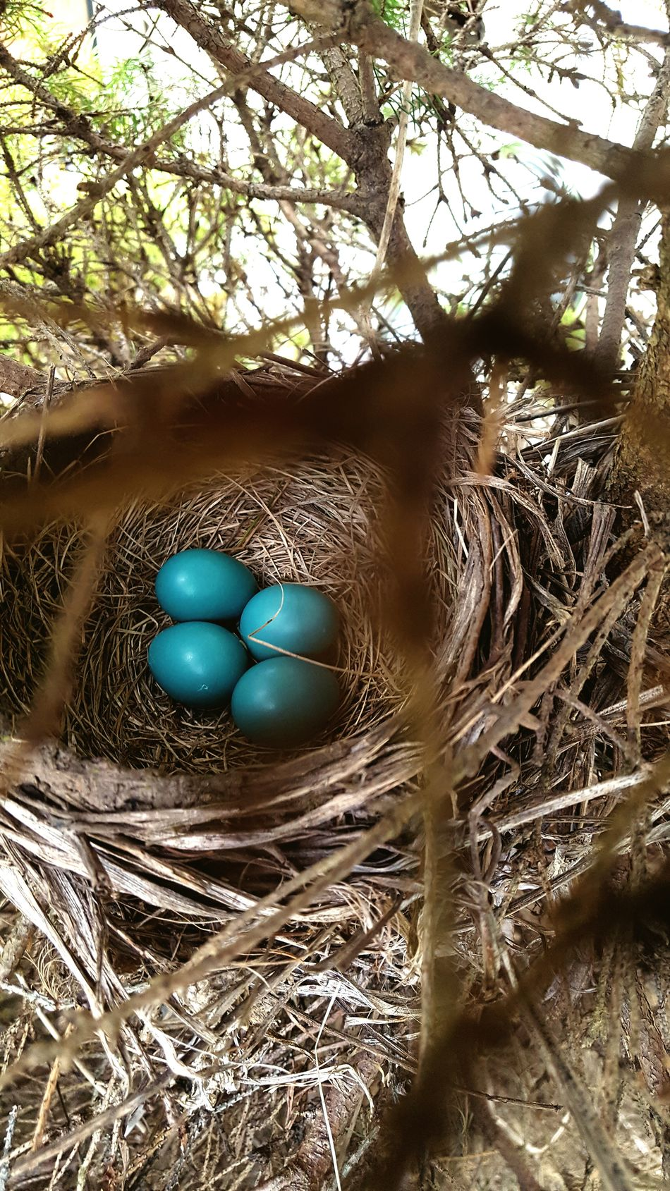 Robin Eggs Robin Robins Bird Birds Bird Photography Birds_collection Birds Of EyeEm  Birdeggs Birds Nest Birds Wildlife Birds🐦⛅ Bird Watching Robin Blue Blue Egg Blue Eggs Blue Eggshell Robin Nest