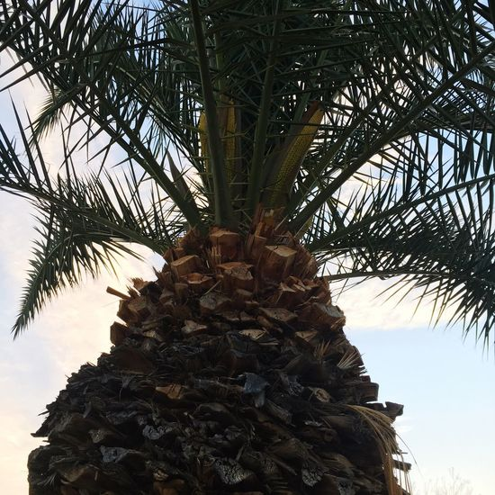Pretty tree Tree Palm Tree Growth Low Angle View Nature No People Day Tree Trunk Outdoors Pine Cone Sky Beauty In Nature Needle - Plant Part