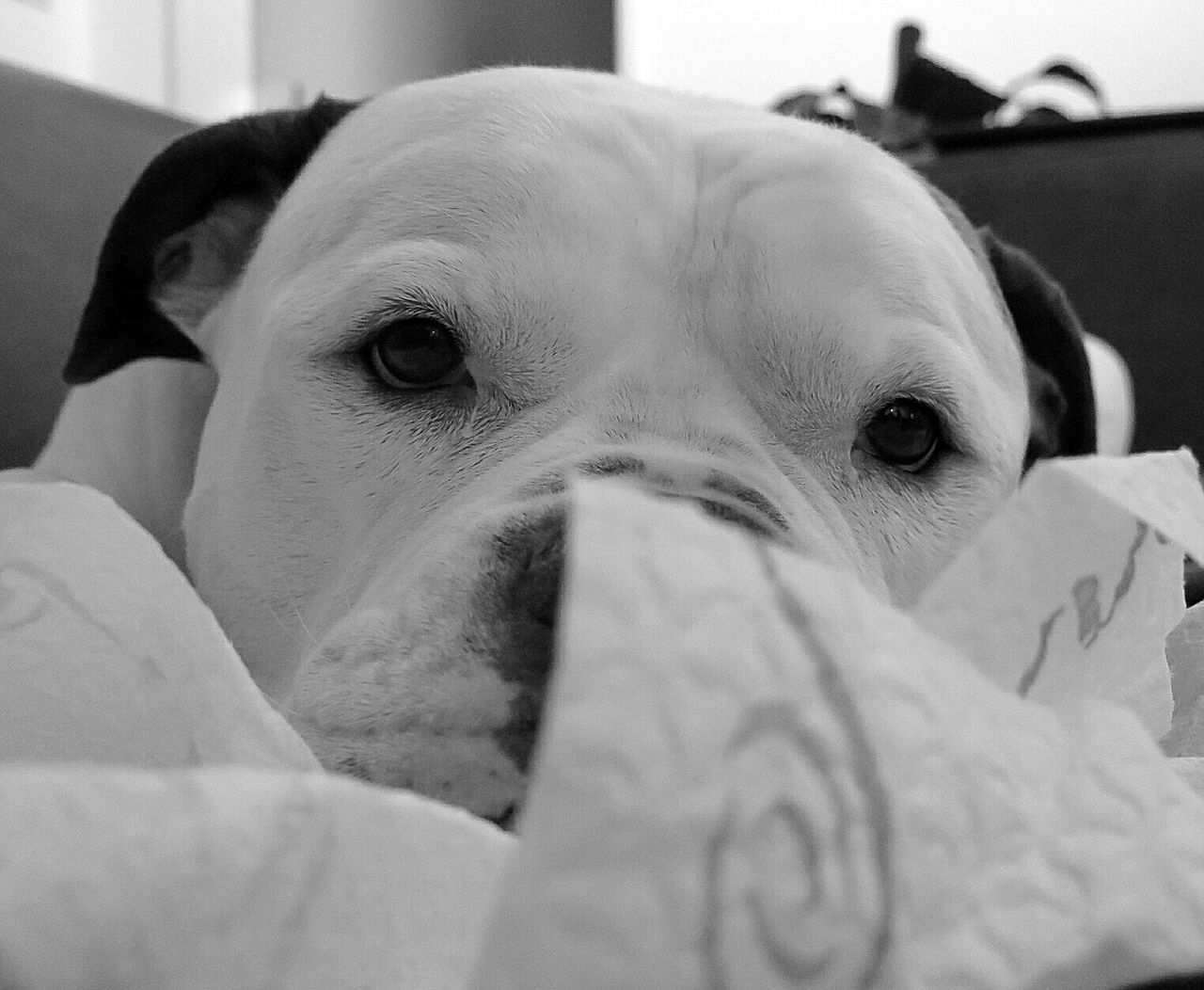 dog, pets, domestic animals, animal themes, mammal, one animal, indoors, close-up, no people, portrait, lying down, looking at camera, bed, day