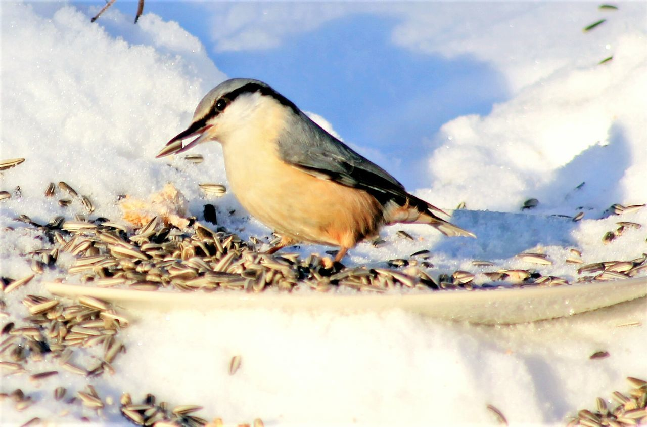 Bird Eating Sunbathing Birds_collection Birds Of EyeEm  Bird Photography Eyem Gallery Winterscapes Nature Photography Cold Animal Themes Animals In The Wild Animal Wildlife NatureOutdoors No People One Animal Cold Temperature Day Snow