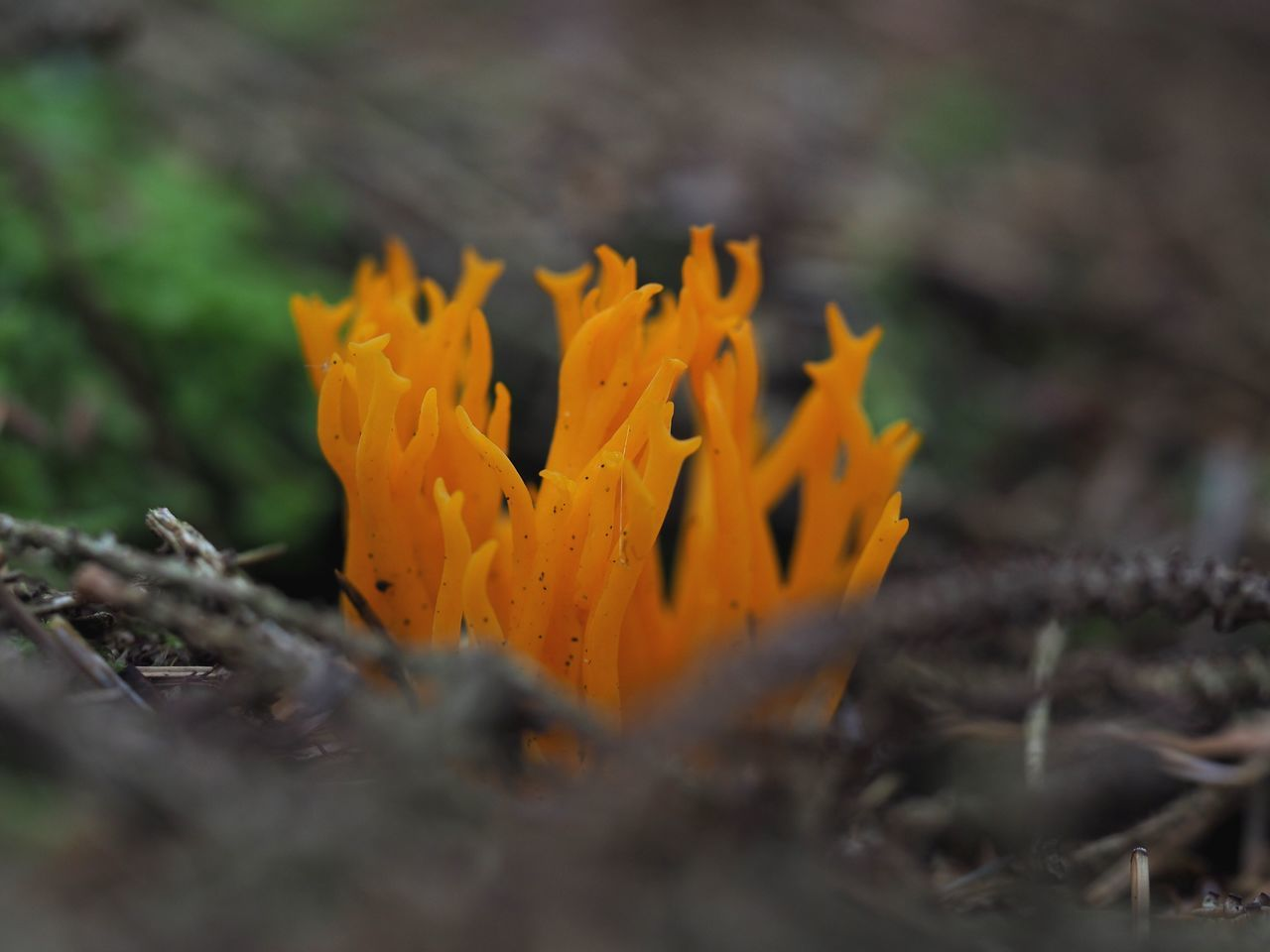 Fungi Coral Fungus Nature Outdoors Beauty In Nature Fragility Freshness Orange Color Fungi Fungus Macro Nature Macro Botany WoodLand Close-up Outdoor