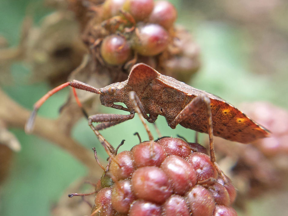 Coreus Marginatus - Serchio River Arthropoda Beauty In Nature Close-up Hexapoda Insect Insect Close-up Insect Macrophotography Insecta Nature Outdoors ınsect Macro