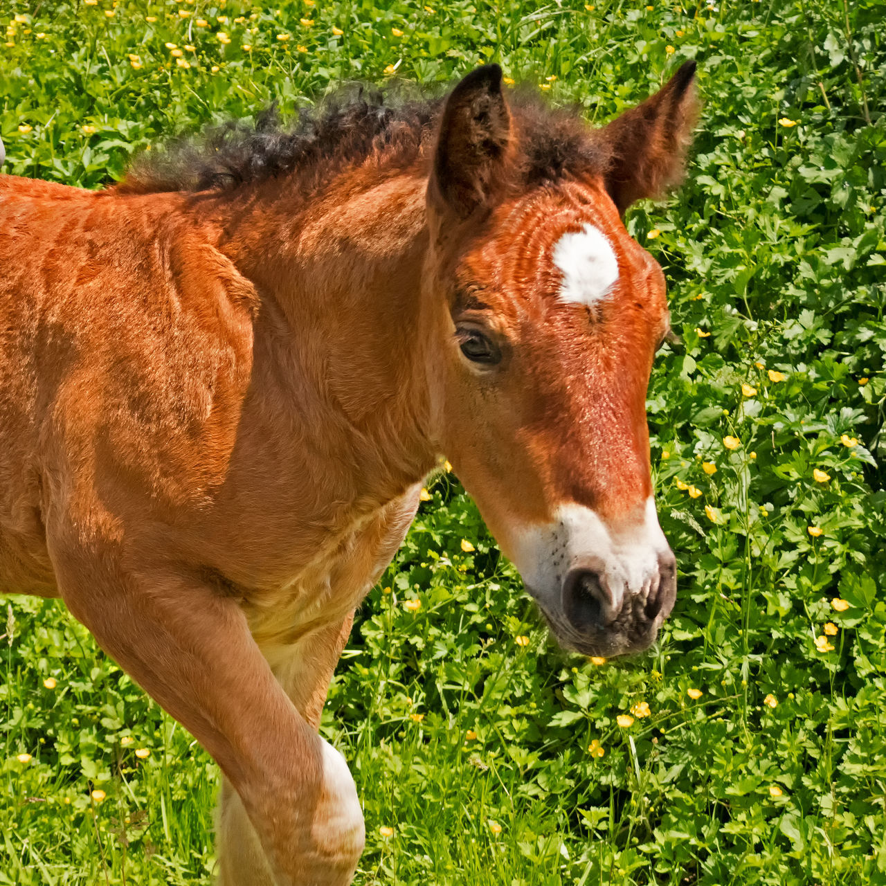 Baby brown horse closeup Animal Body Part Animal Head  Animal Themes Baby Horse Brown Horse Close-up Domestic Animals Field Focus On Foreground Grass Herbivorous No People Outdoors Portrait Nature's Diversities Showcase May Minimalism Animal Photography