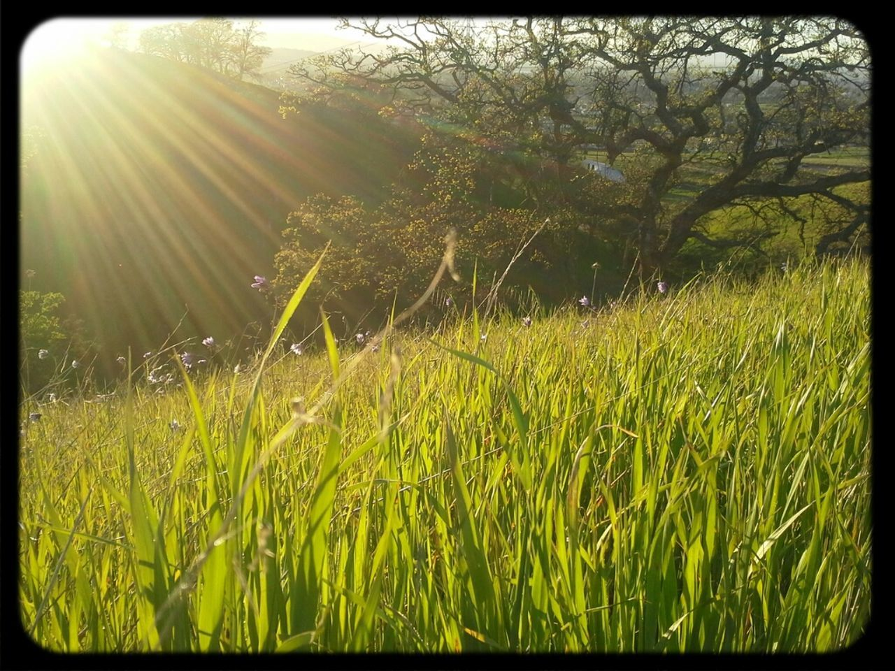 growth, grass, field, nature, tranquility, beauty in nature, no people, tranquil scene, outdoors, day, sunlight, landscape, scenics, agriculture, plant, rural scene, tree, freshness