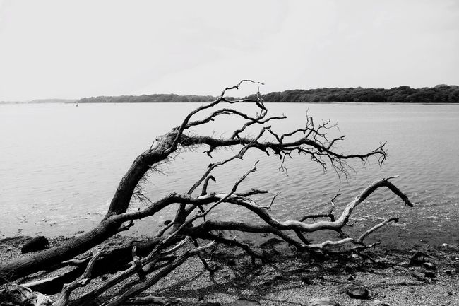 Dead Tree Shore in English Countryside Chichester Harbour