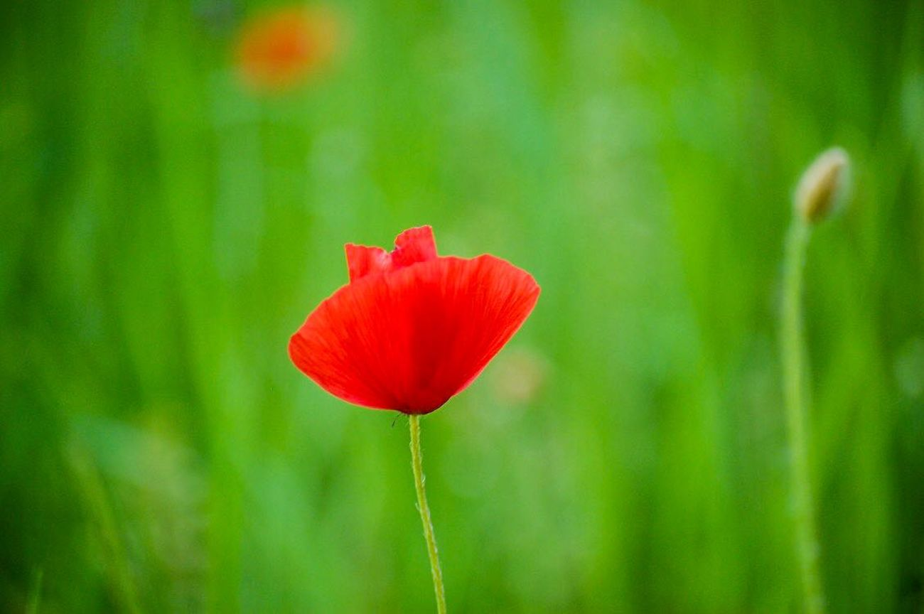 Flower Nature Plant Red Green Color Close-up Outdoors Poppy No People Growth Beauty In Nature Springtime Day Fragility Flower Head Freshness Summer Grass EyeEmNewHere Our Best Pics Nature On Your Doorstep Getting Inspired The Week Of Eyeem Flowers Flower Collection