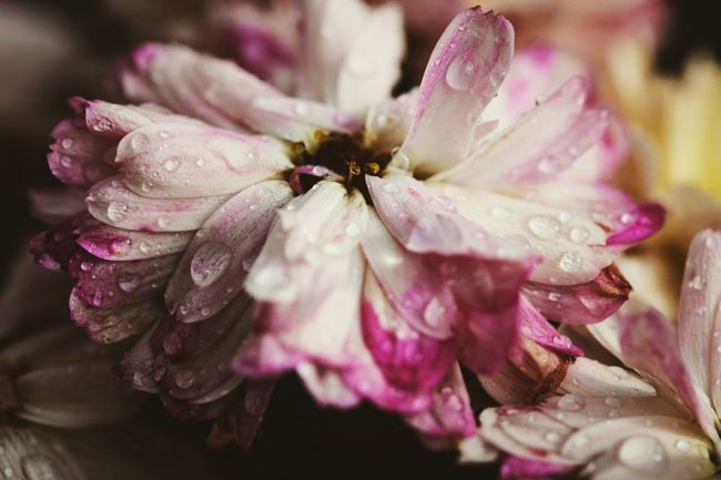 ~ 🌼🌂 ~ Drop Water Petal Flower Fragility Freshness Wet Flower Head Beauty In Nature Close-up Growth Season  Pink Color Dew Weather Nature In Bloom Selective Focus RainDrop Springtime Naturelovers Macro Macro Beauty EyeEm Nature Lover EyeEm Best Shots
