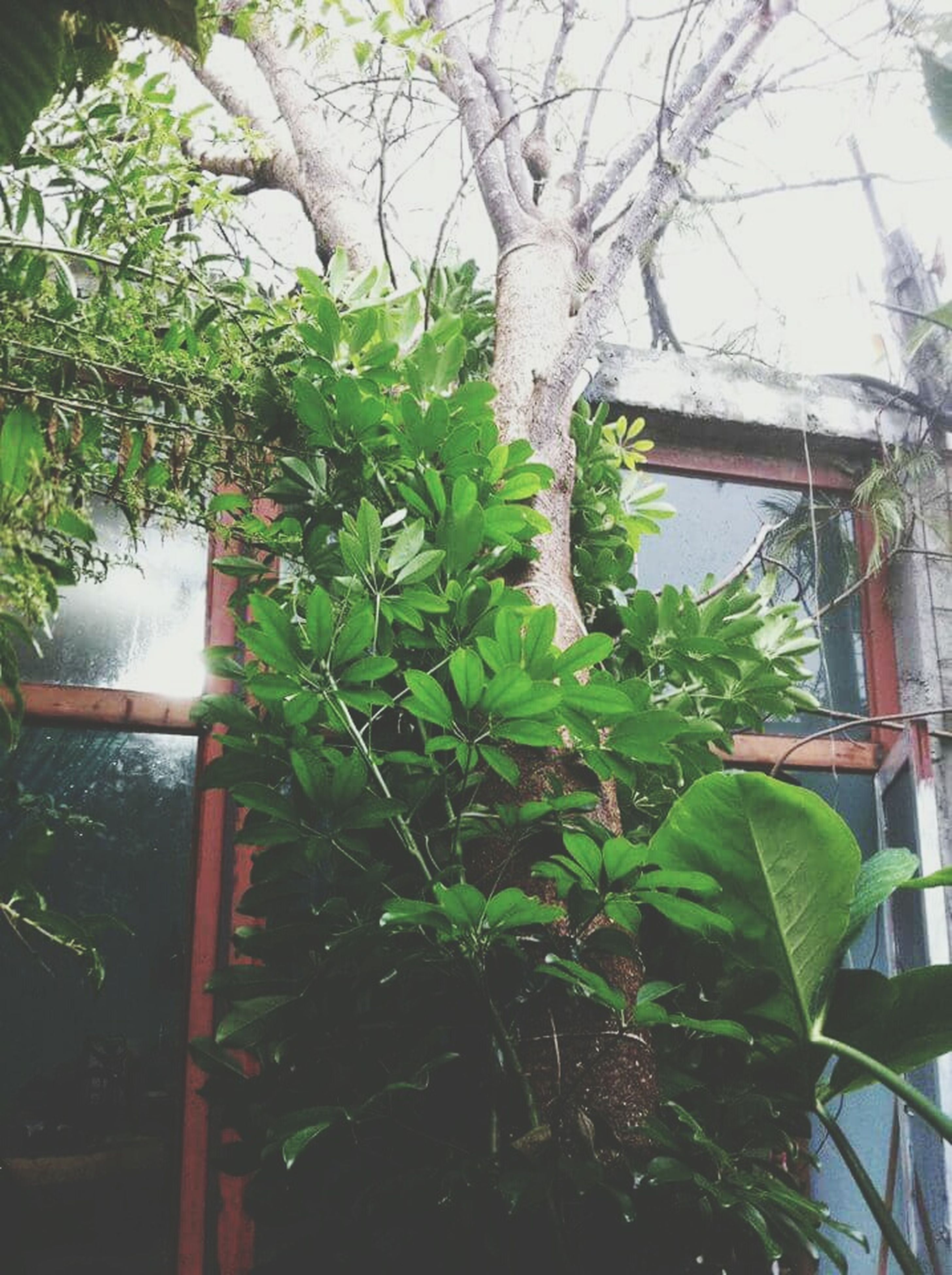 growth, tree, leaf, branch, plant, green color, built structure, nature, building exterior, architecture, growing, day, ivy, house, tree trunk, no people, window, outdoors, front or back yard, sunlight