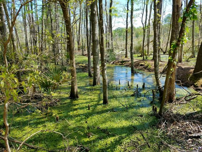 Tree Nature Growth Green Color Beauty In Nature No People Tranquility Tranquil Scene Water Day Outdoors Grass Forest Sky Plant Agriculture Natural Parkland Cawcawcountypark Ravenel South Carolina. Wetland Rural Scene Landscape Tranquility Tree Beauty In Nature