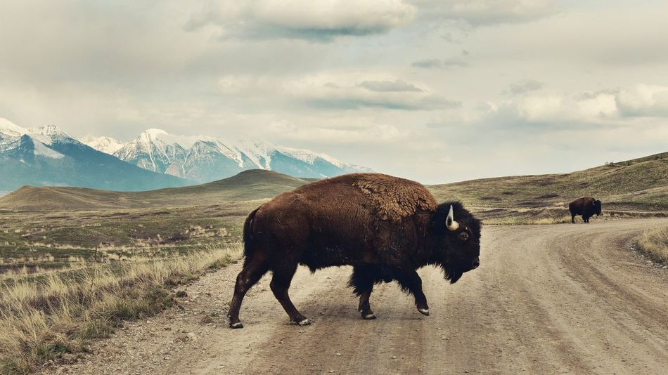 Bison Buffalo Montana National Bison Range Native American Native American Culture Reservation