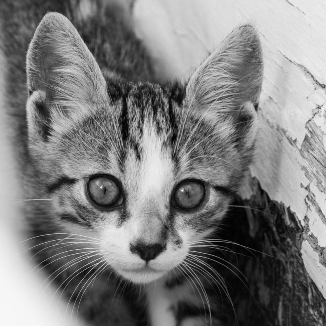 Cretan Kitten Cat Kitten EyeEm Best Shots Blackandwhite Monochrome
