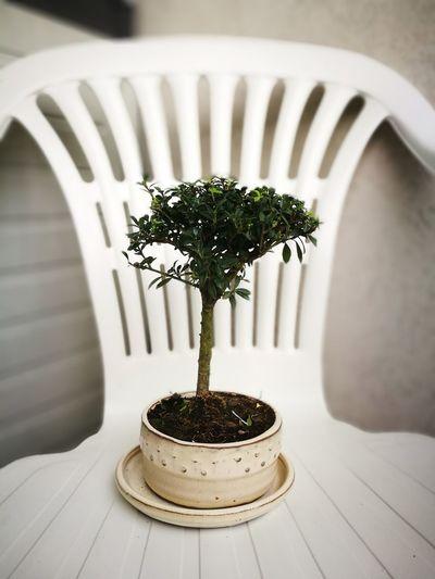 Table No People Nature Tree Freshness Day Radiator Bonsai Bonsaitree Agrifoglio Ilex Aquifolium Ilexcrenata