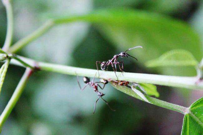 Small Life Ant Plant Oriente Ecuatoriano