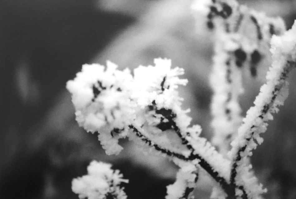 Winter Nature Cold Temperature Snow White Color Flower No People Beauty In Nature Close-up Day Outdoors Focus On Foreground Growth Plant Fragility Frozen Freshness Branch Springtime Sky