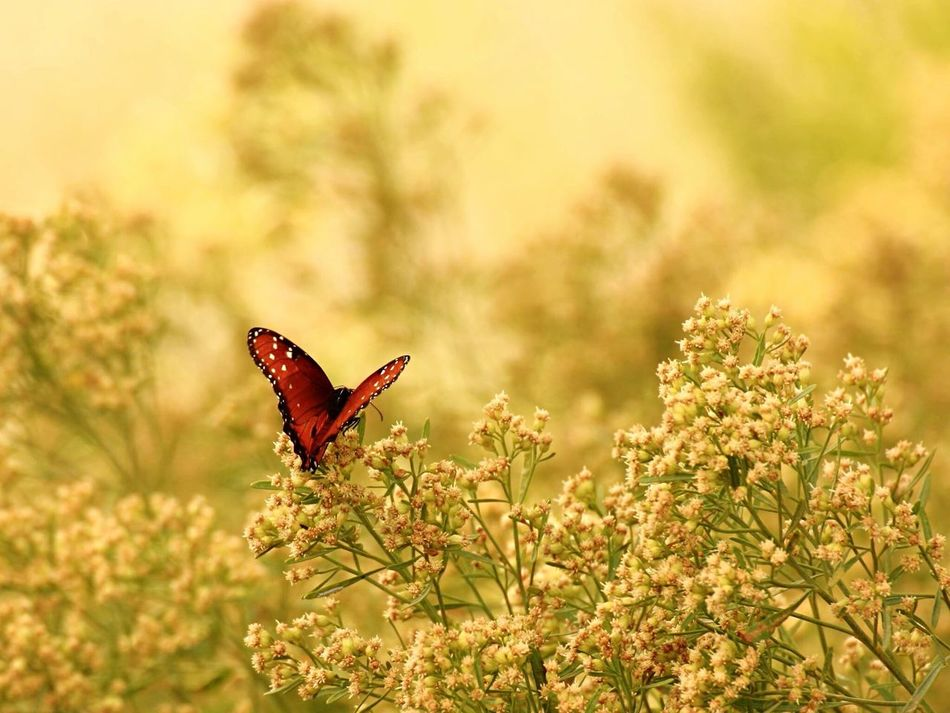 Beautiful stock photos of butterfly,  Animal Behavior,  Animal Themes,  Animals In The Wild,  Beauty In Nature