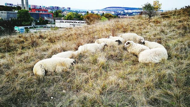 Nature Day Outdoors Building Exterior Sheep Sheep Farm Huawei P9 Leica Animals Animal Photography Sleepy Landscape Life Nature Photography Natural Beauty Naturephotography Field Huaweip9photos Autumn Beauty In Nature