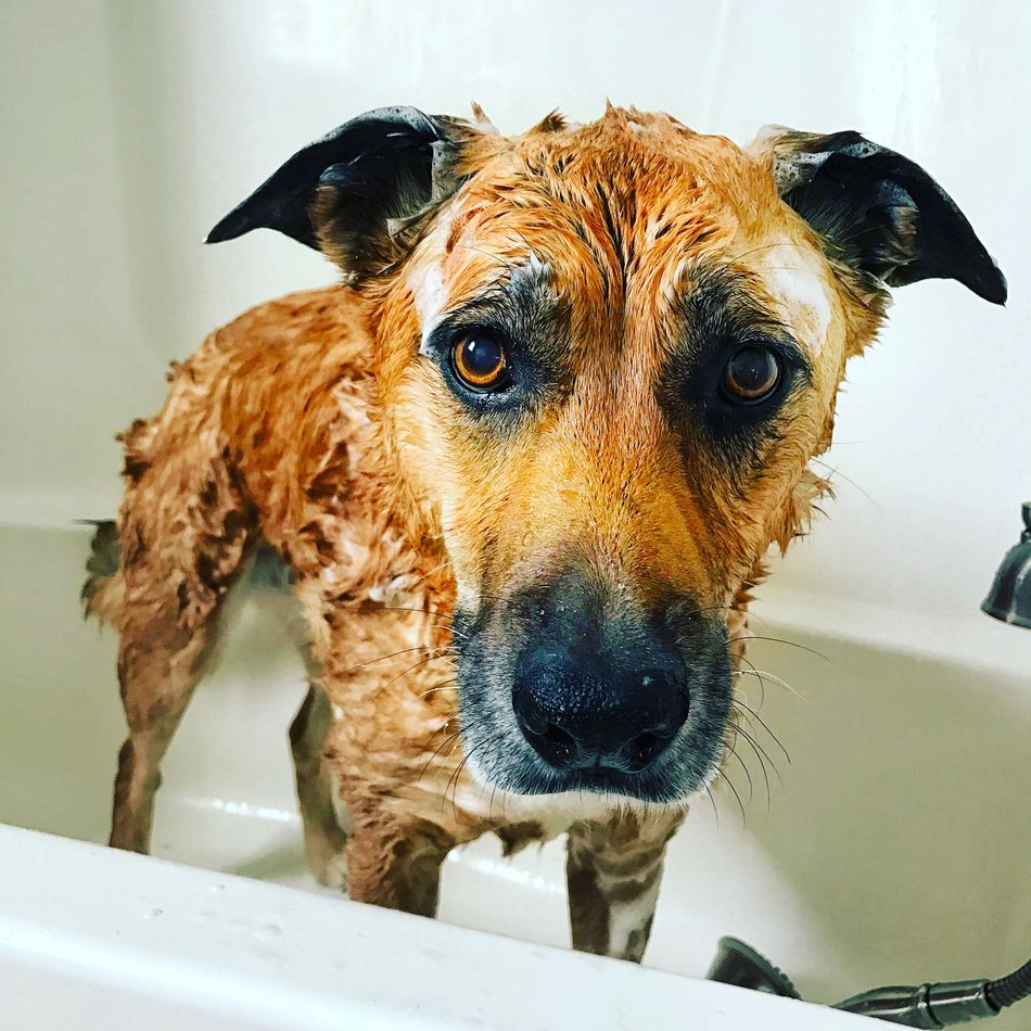 Doggy bath time! Dog Animal Themes Mammal Domestic Animals Pets Close-up Indoors  No People Portrait Day EyeEmNewHere