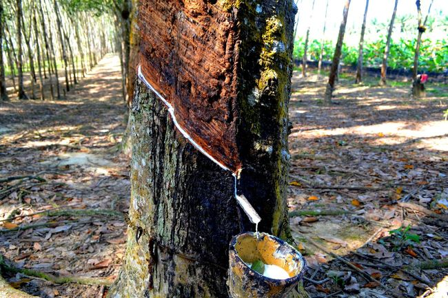 Rubber Tapping Rubber Tree Hometown Tree Lifeissimple Rubber Milk