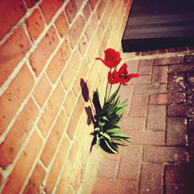 Flower Red Blumen Roteblume :)